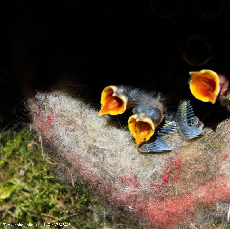 鸟巢雏鸟小鸟哺育待哺