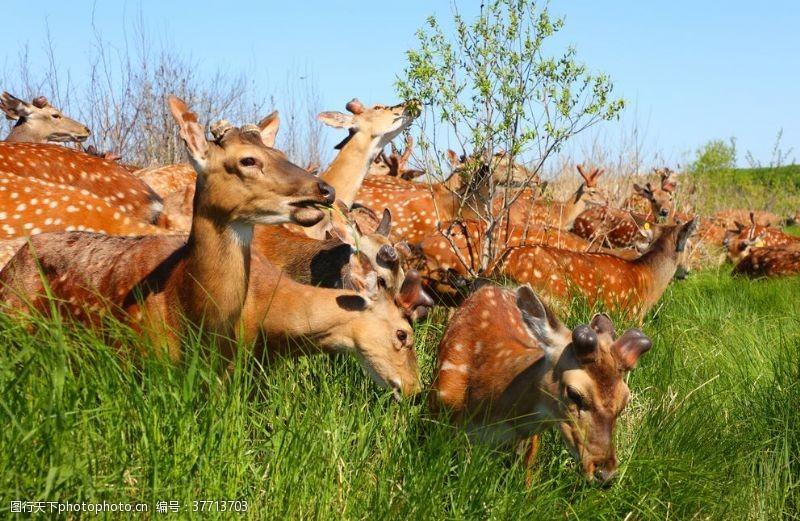饲养梅花鹿照片