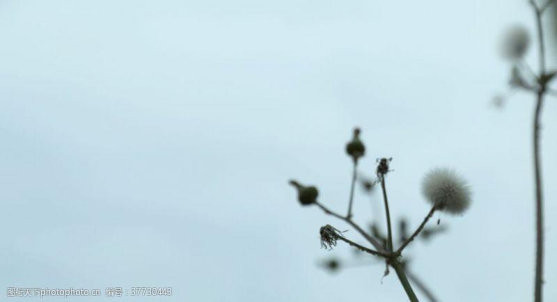 植物蒲公英水边野蒲公英