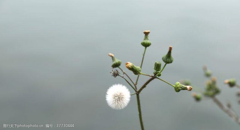 植物蒲公英野蒲公英