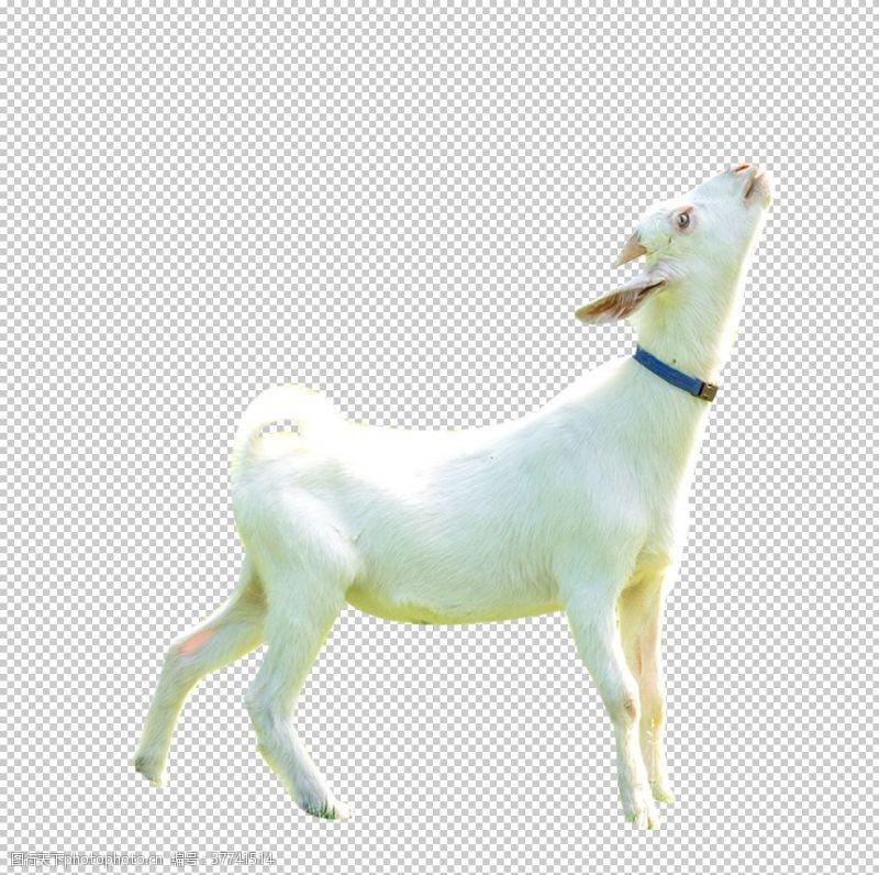 摄影图库山羊