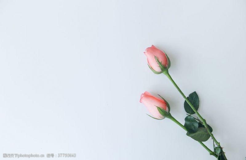 粉红玫瑰花苞