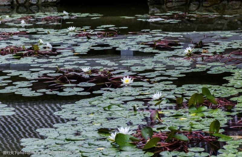 子午莲小池塘