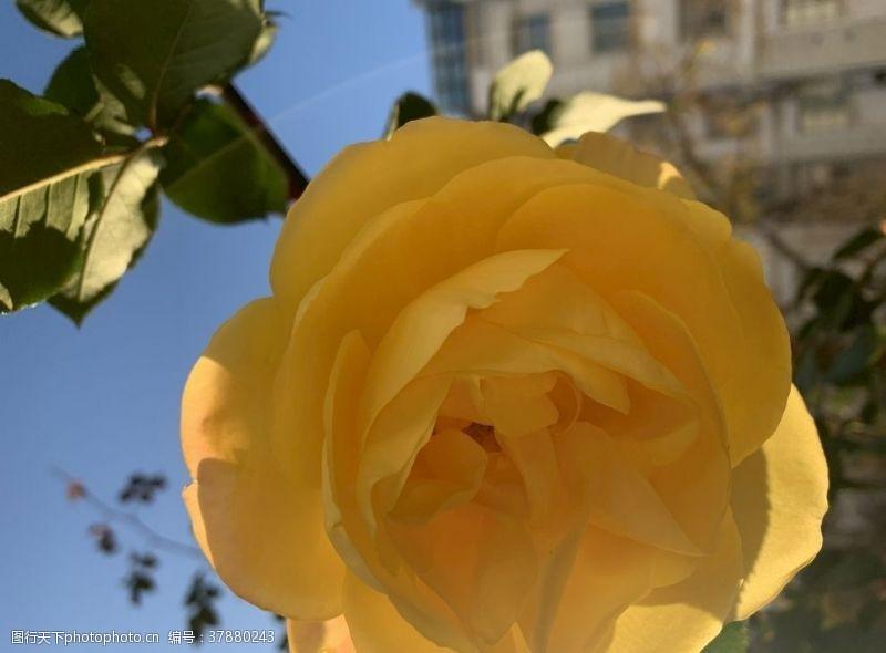 花朵黄色月季