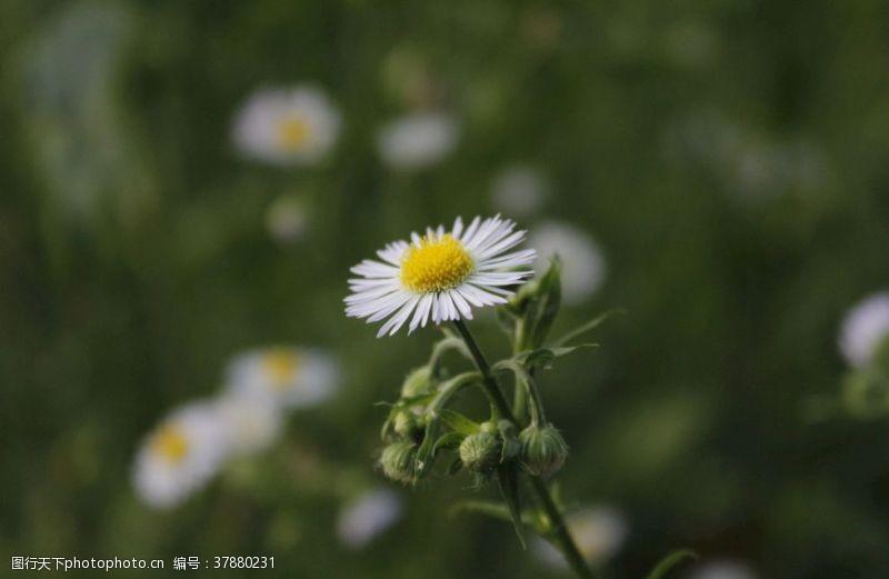 花朵白色的雏菊