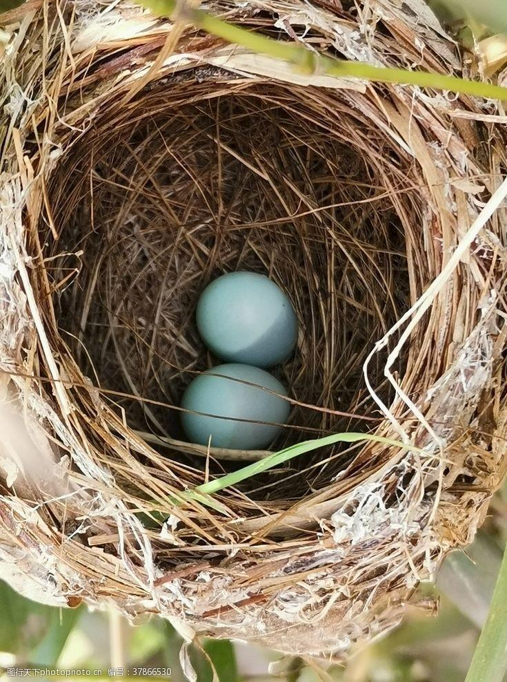 画眉鸟蛋鸟巢蓝色罗宾鸟蛋蓝