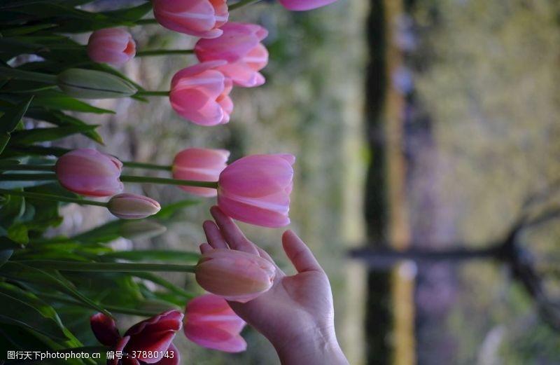 春天花朵郁金香