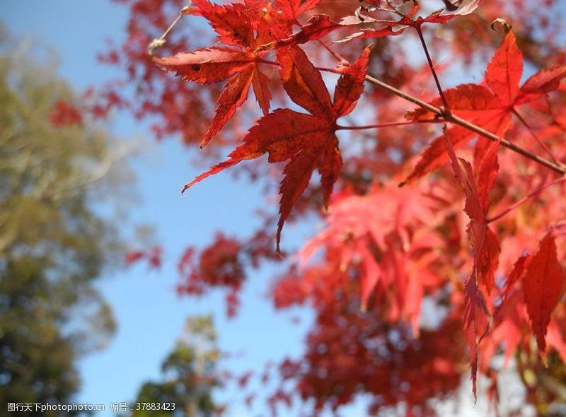 国外旅游红色枫叶