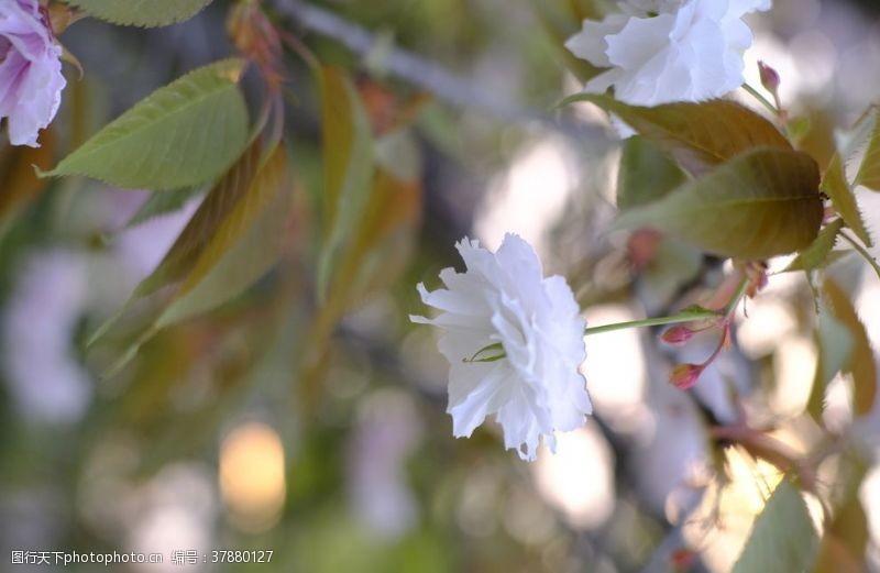 春天花朵樱花