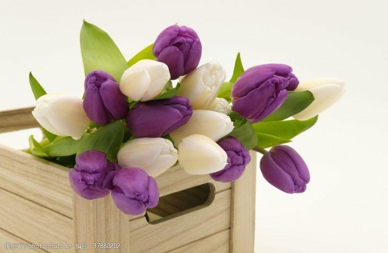 花朵郁金香