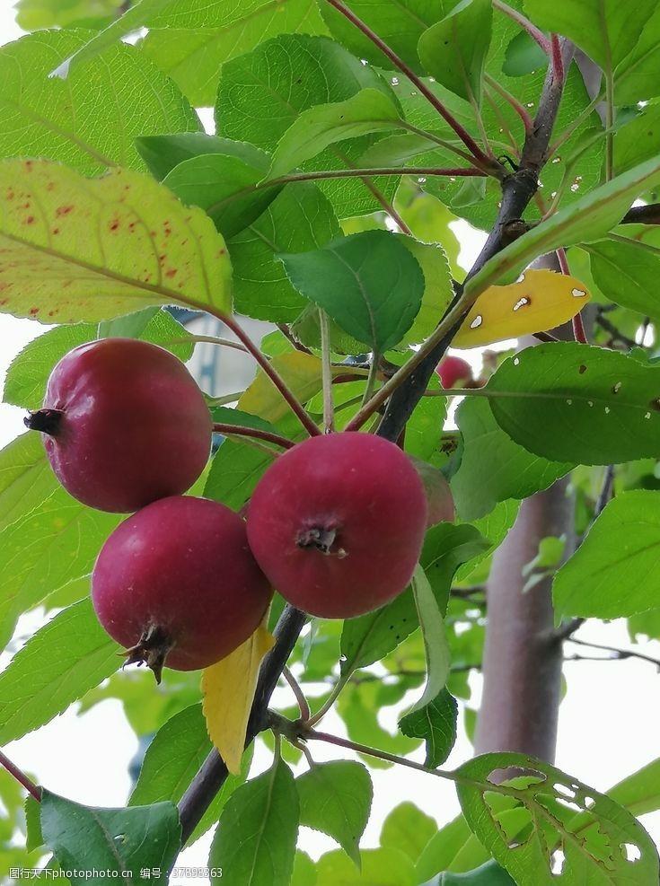 苹果海棠树