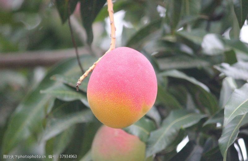 生物世界芒果