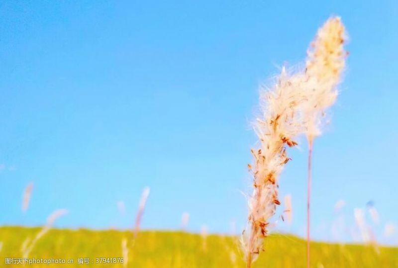 蓝天草地白茅