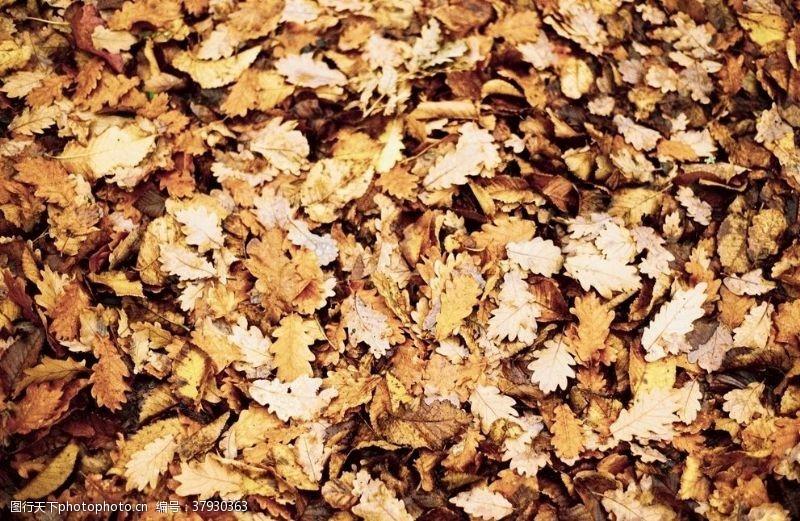 自然落叶枫叶枯叶