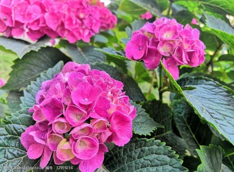 紫色三朵绣球花朵