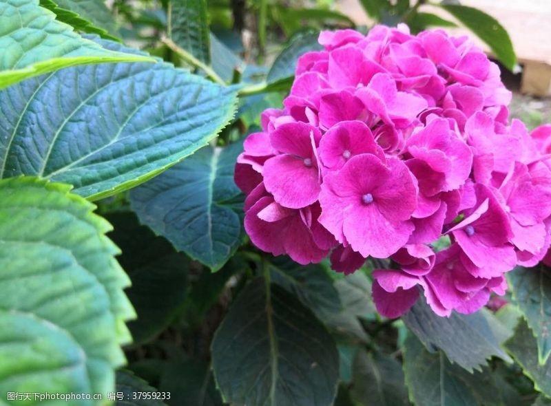 紫色绣球花朵