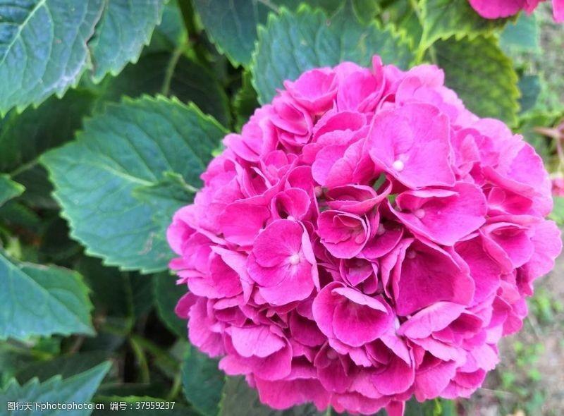 紫色粉色的绣球花朵