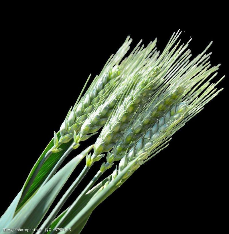 绿色小麦穗png