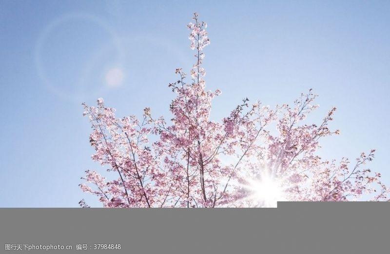 阳光下的樱花