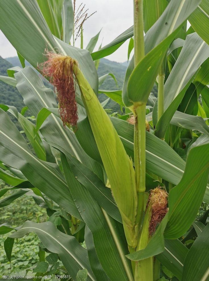 新鲜食品玉米地