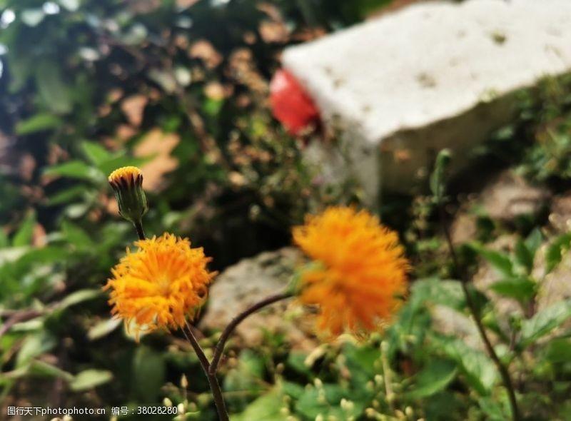 植物蒲公英黄色小花