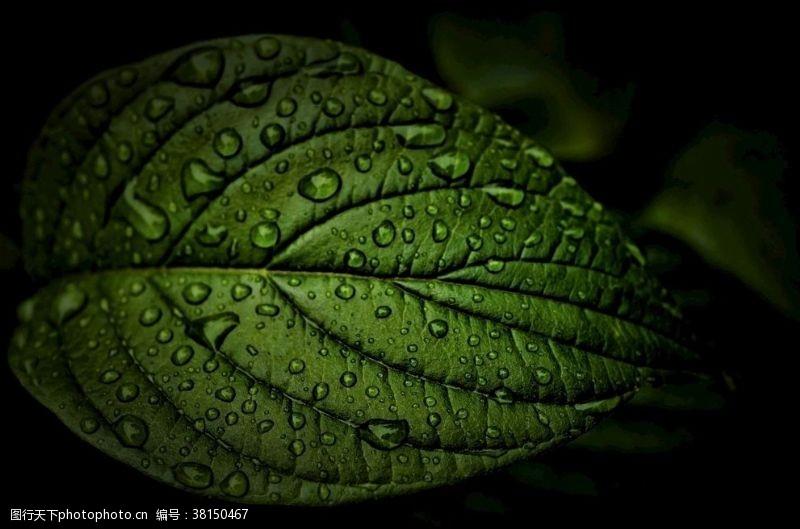 张力绿叶上的露水