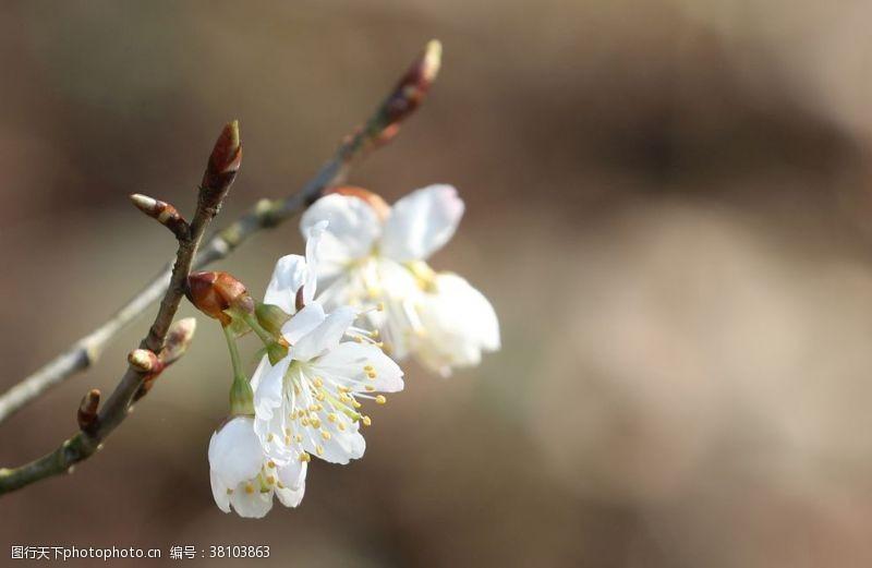 看樱花樱花