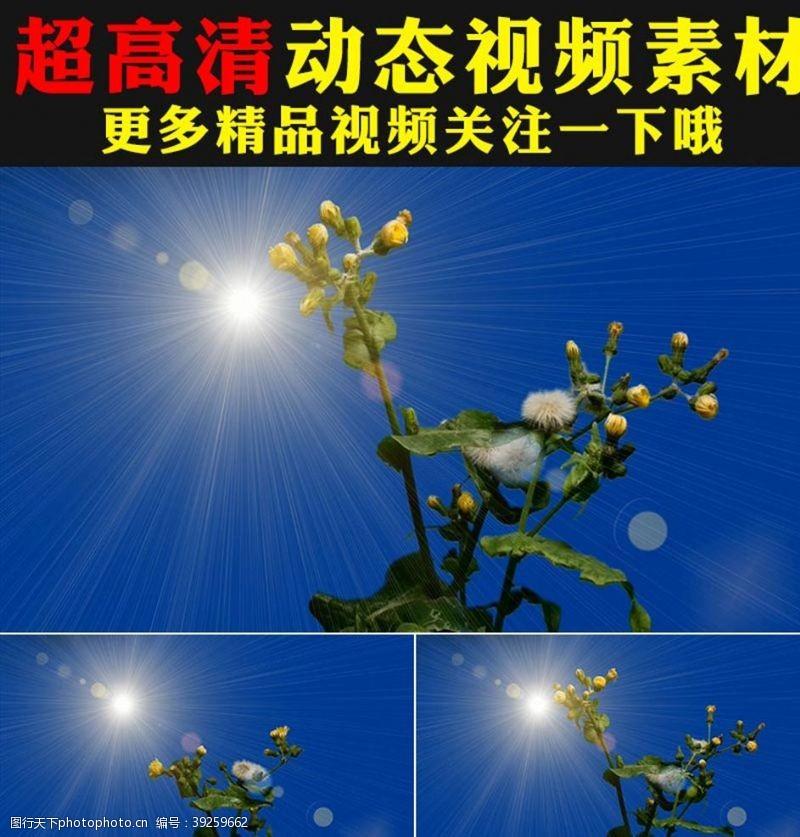 飘动蓝天阳光照射下蒲公英花朵视频