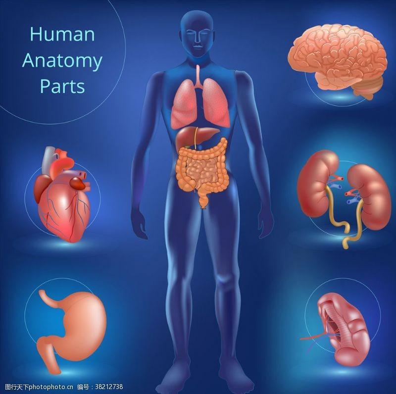 人体器官图人体系统