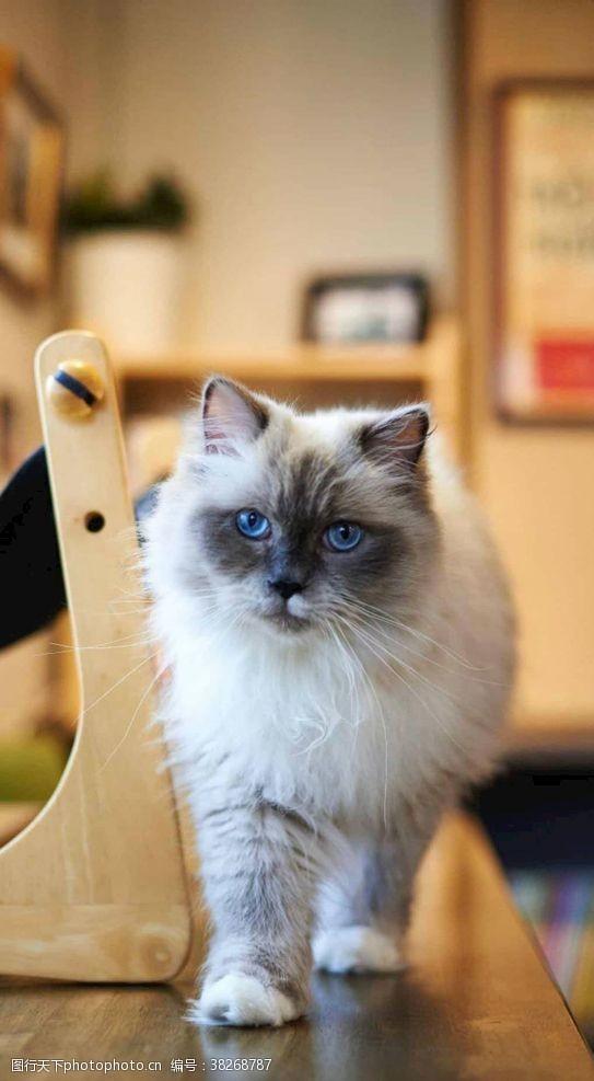 蓝眼睛漂亮的猫咪