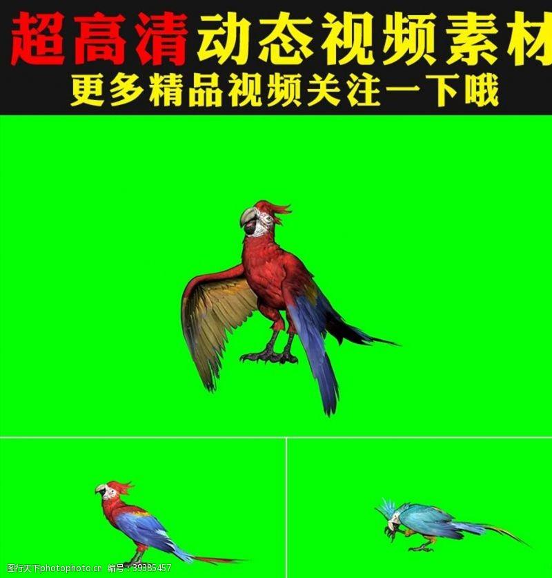 动态视频素材鹦鹉八哥绿屏抠像视频合成素材