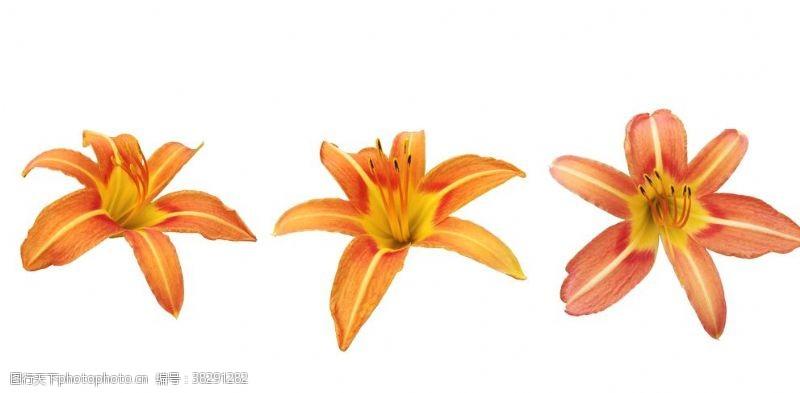 春天花朵花朵萱草花黄花菜