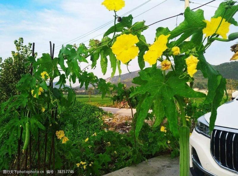 夏季蔬菜丝瓜
