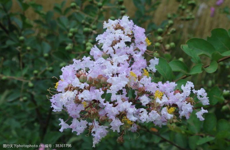 花儿紫薇花