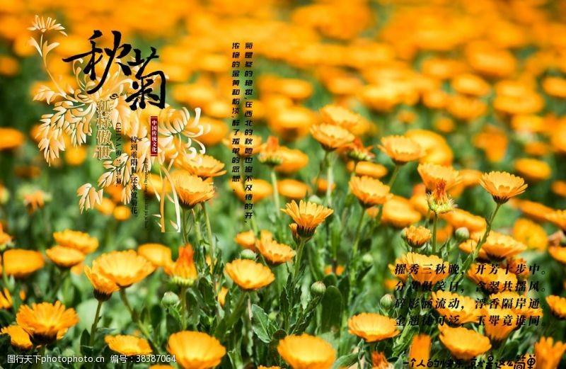 素材图片秋菊