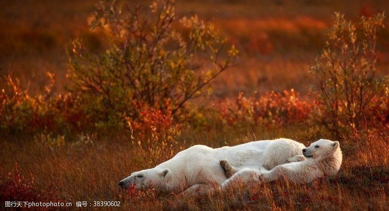 动物慵懒睡觉的熊