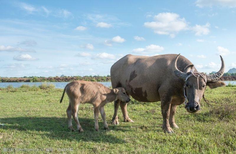 背景图片水牛