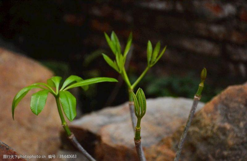 春天糖膠樹