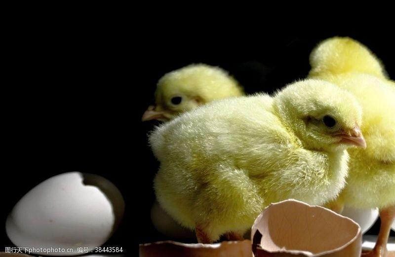 鸡蛋促销小鸡
