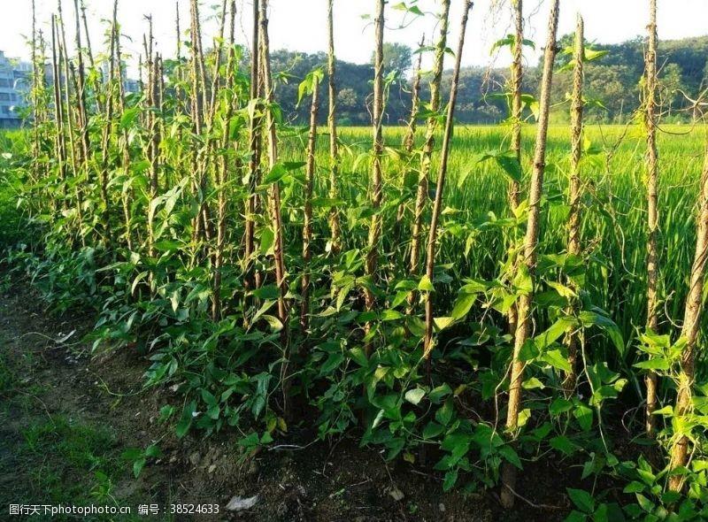 夏季蔬菜豇豆