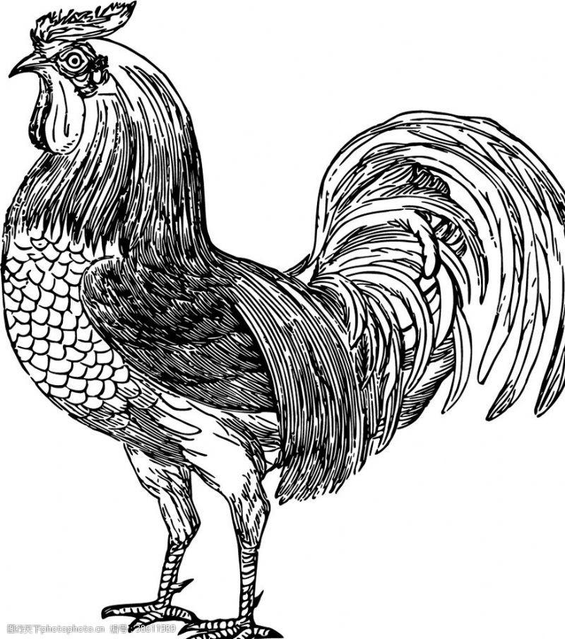 矢量小插图 公鸡矢量图图片