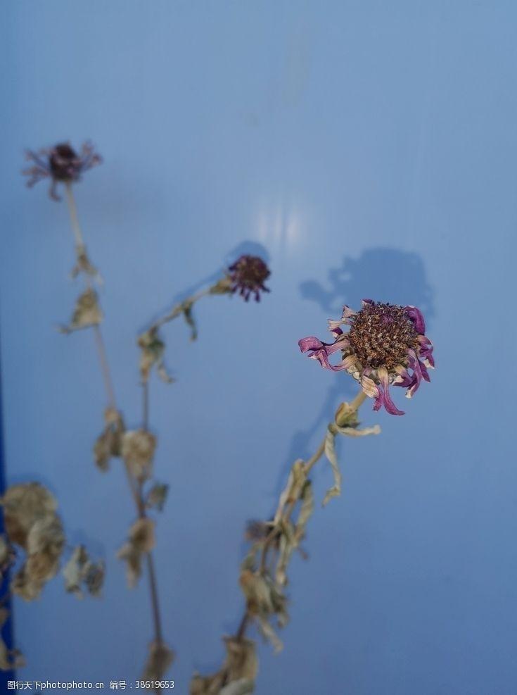 百日菊枯萎的花