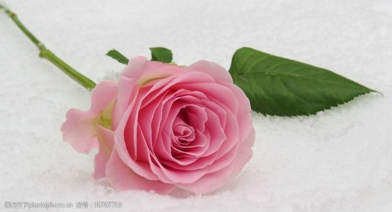 花朵冰上玫瑰
