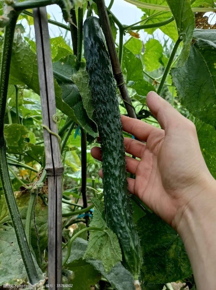 蔬菜园采摘黄瓜