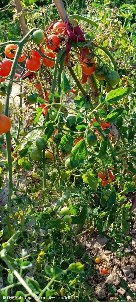 蔬菜园小番茄