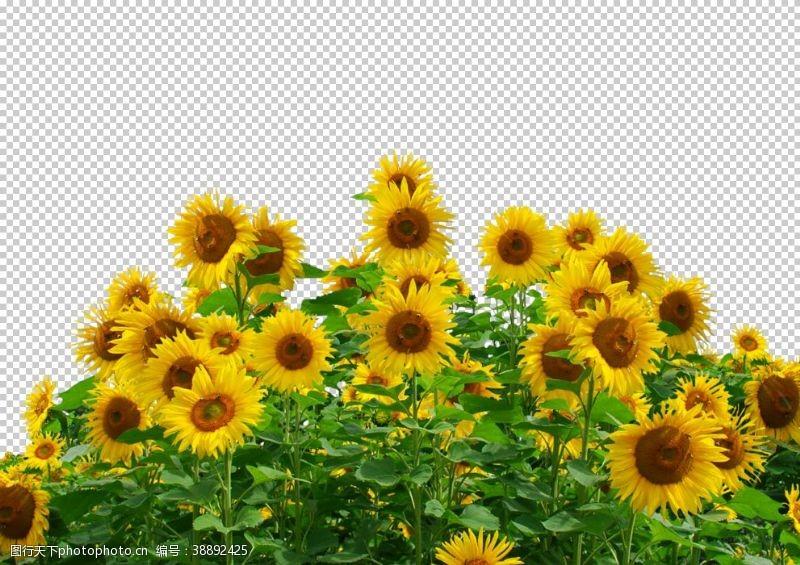田园风光向日葵