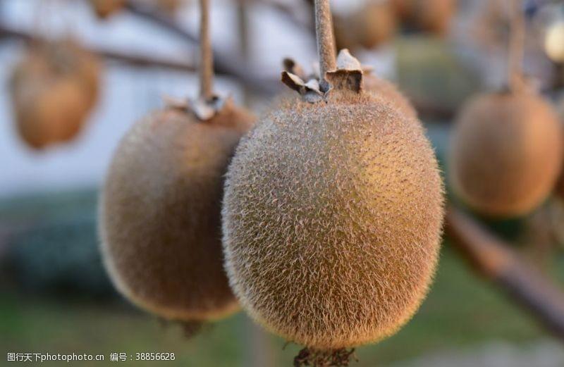 水果不干胶奇异果