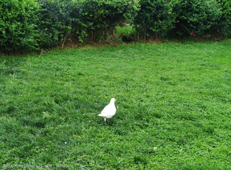 鸽子和平鸽