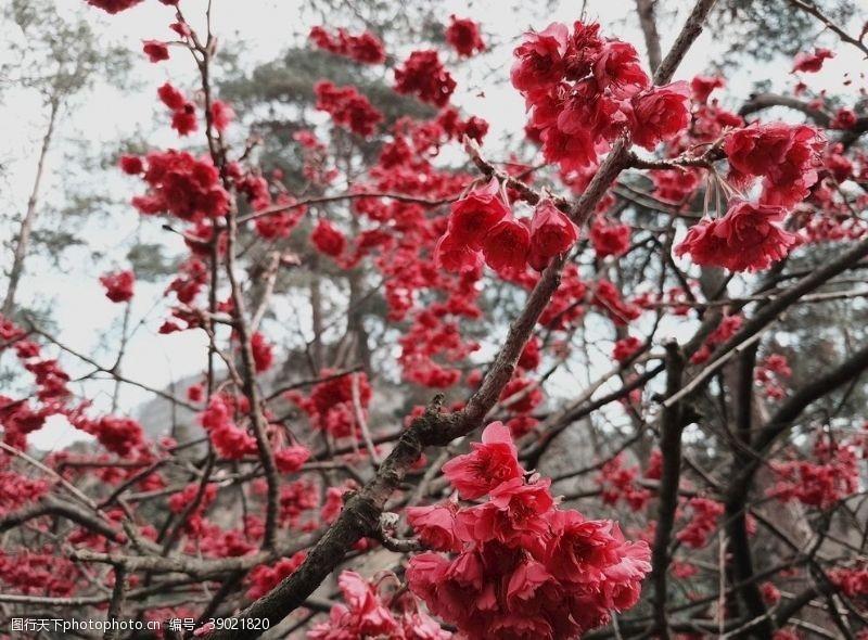 粉红色樱花 樱花图片