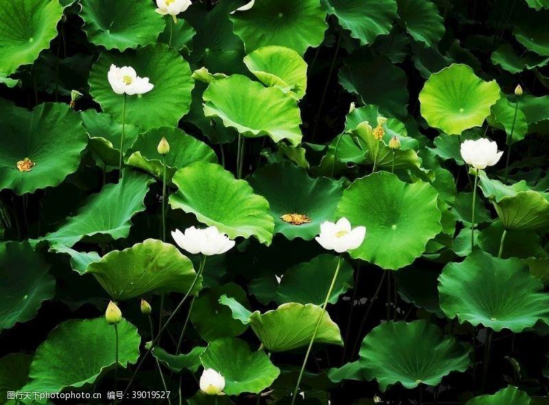 公园湖泊 泉州东湖荷花图片
